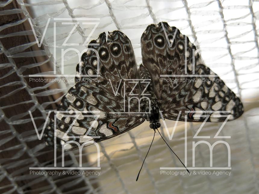 BOGOTÁ-COLOMBIA-15-01-2013. Mariposa Hamadryas Feronia, también llamada mariposa Rechinadora gris. Butterfly Hamadryas Feronia, or butterfly Rechinadora grey. (Photo:VizzorImage)