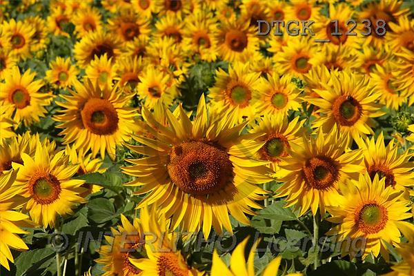 Gisela, FLOWERS, photos(DTGK1238,#F#) Blumen, flores, retrato