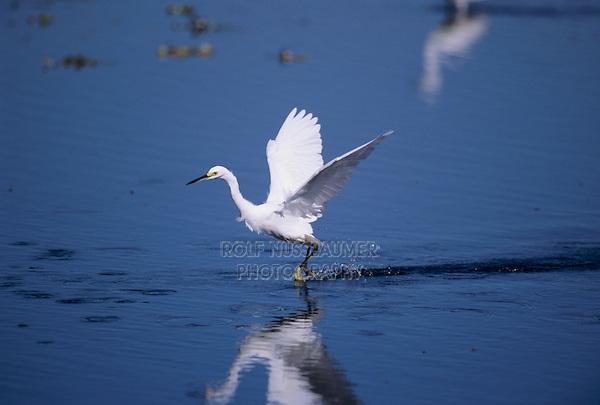 Snowy Egret, Egretta thula, adult in flight, Sanibel Island, Florida, USA, Dezember 1998