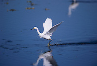 Snowy Egret, Egretta thula, adult in flight, Sanibel Island, Florida, USA, Dezember 1998