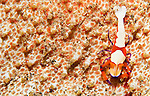 Emperor Shrimp ( imperial shrimp ) Periclimenes imperator on sea cucumber, Bunaken National Park, Sulawesi, Indonesia