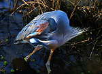 Behavioral studies of the great blue heron. Photographs depicting nest building, incubation of eggs, feeding the newborns until ready for flight.