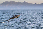 Mexico, Baja California Sur, Sea of Cortez, common dolphin (Delphinus sp.)