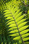 Staghorn Sumac fronds, Rhus typhina<br />