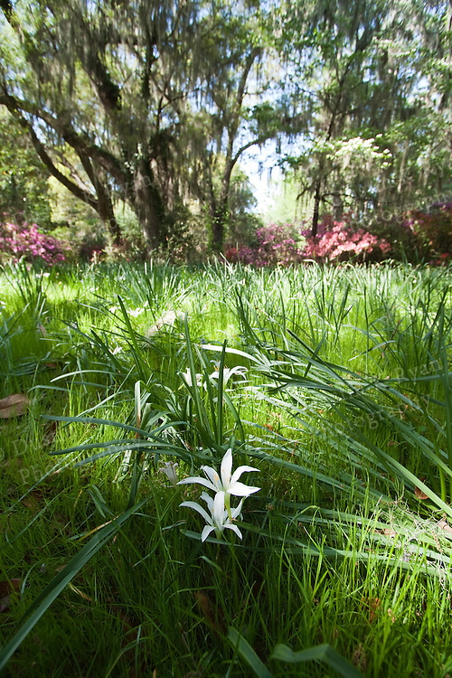 white flowers and green grasses at the Magnolia plantation near charleston south carolina