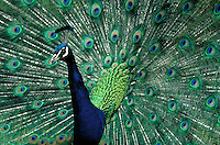 Peacock spreads his colorful tail feathers. patterns, birds, animals. Peacock spreading feathers. England.