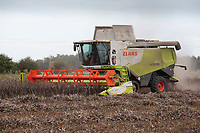 Harvesting beans <br /> ©Tim Scrivener Photographer 07850 303986<br />      ....Covering Agriculture In The UK....