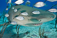 RW2383-D. Lemon Shark (Negaprion brevirostris) swimming over shallow sand bottom with juvenile jacks following. Bahamas, Atlantic Ocean.<br /> Photo Copyright &copy; Brandon Cole. All rights reserved worldwide.  www.brandoncole.com