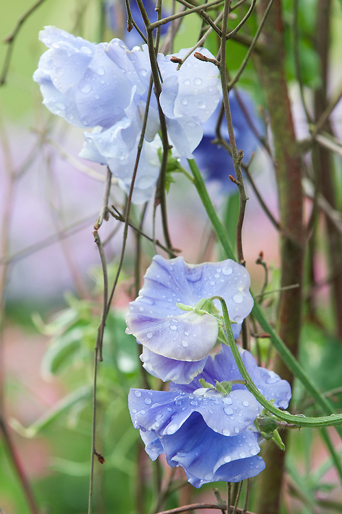 Sweet pea 'Linda C', mid June.