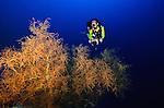 East Indonesia, Raja Ampat, black coral outcrop