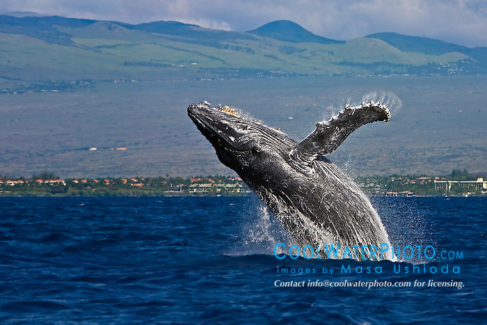 humpback whale, Megaptera novaeangliae, breaching, Kohala Mountain in background, note rare gray body coloration for adult whale, Hawaii, USA, Pacific Ocean