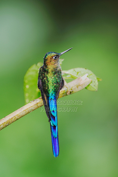 Violet-tailed Sylph (Aglaiocercus coelestis), male perched, Mindo, Ecuador, Andes, South America