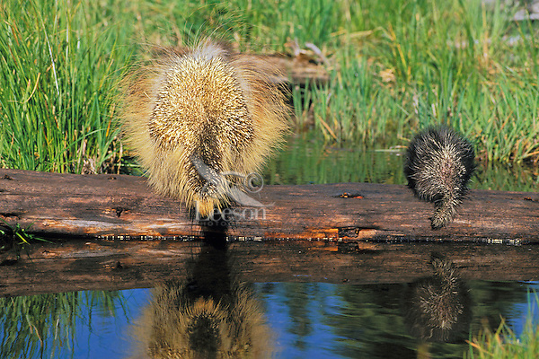 Porcupine adult and young (Erethizon dorsatum) in defensive posture.