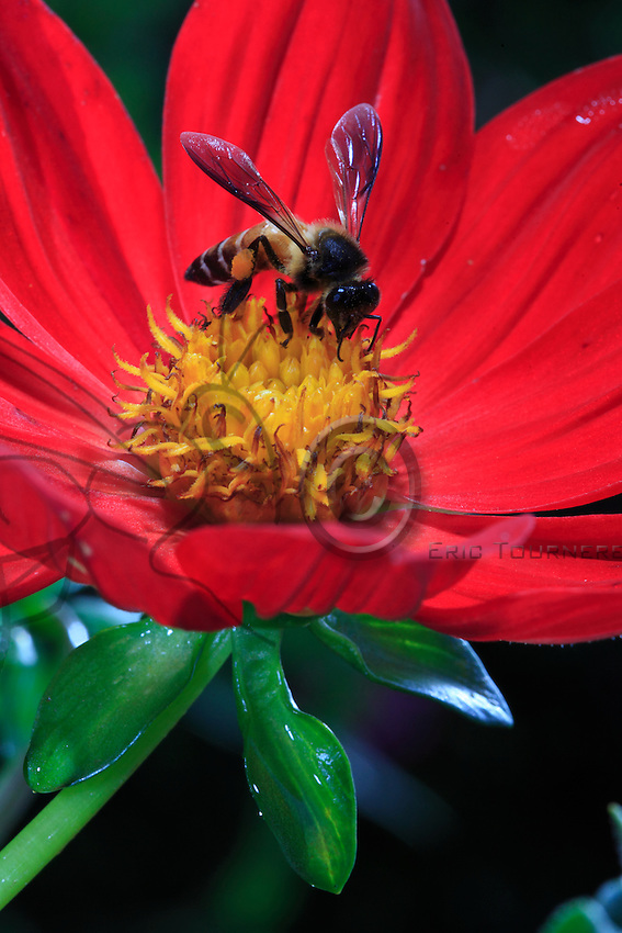 A giant bee with pollen on a flower.