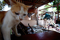 """the house cat sits on the ruins of a shelled house, hit by artillery in Trincomalee on the third week of September in Trincomalee, Eastern Sri Lanka on Sunday October 08 2006..relatives said that the cat was in the compound when it was hit and up till today it has never left the house..A 45 old woman was in the house, after suffering major injuries she died two weeks later. her daughter and law, sitting in the compound remains up till today, shell shocked and injured to one arm..The Sri Lanka civil was is an ongoing conf, The Sri Lanka civil war is an ongoing conflict on the island nation of Sri Lanka Since the 1983 """"Black July""""  pogrom there has been on and off civil war, mostly between the government and the Liberation Tigers of Tamil Eelam, or the LTTE, who want to create an independent state of Tamil Eelam in the north east of the island. It is estimated that the war has left 65000 people dead since 1983 and caused great harm to the population and economy of the country. A cease fire was declared in 2001, but hostilities renewed in late 2005. Following escalation of violence         in July 2006, a senior rebel leader declared the ceasefire null and void, although both sides later reaffirmed their commitment to the ceasefire agreement. Hundreds of people, including military personnel, rebels, and Tamil, Sinhalese and muslim civilians have been killed in fighting this year. Thousands of civilians have been displaced, many coming from areas already stroke by the dec 2004 Tsunami.."""