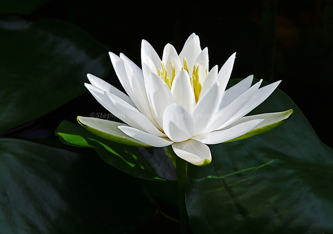 A pretty white Fragrant Water Lily sits among some pads in filtered early morning sunlight.