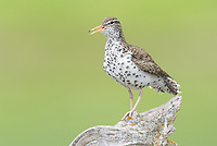 Spotted Sandpiper (Actitis macularius) in breeding plumage calling. Okanogan County, Washington. May.