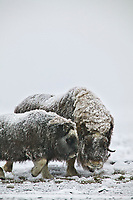 Musk Oxen cow and calf of the year, coastal plains of Alaska's Arctic,