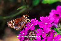 03738-00120 Zabulon Skipper butterfly (Poanes zabulon) female on Homestead Purple Verbena (Verbena canadensis) Marion Co. IL