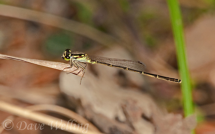 341780012 a wild male fragile forktail ischnura posita perches on a dead grass stem near boykin springs in jasper county texas united states