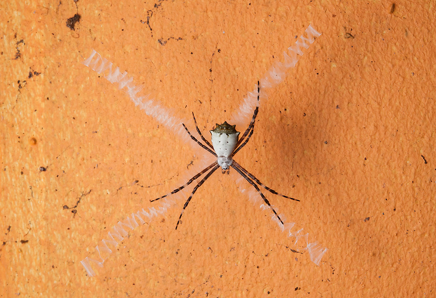 An argiope spider (possily argiope argentata) on the side of a building. Siquirres, Costa Rica.