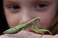 Praying Mantis; Mantis religiosa; in hand Pine Barrens, NJ;