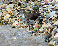 Spotted sandpiper in breeding plumage feeding at water's edge