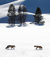 We found this courting pair during my photo tour, on a snow coach excursion through Hayden Valley.