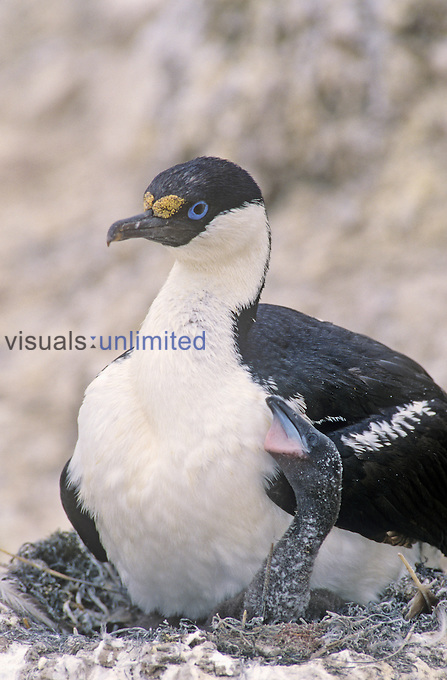 "Antarctic Blue-eyed Cormorant or Antarctic Shag on its nest with young (Phalacrocorax bransfieldensis), Antarctica.""..."