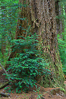 ORCOC_D279 - USA, Oregon, Siuslaw National Forest, Cape Perpetua Scenic Area, Furrowed trunk of Douglas fir (Pseudotsuga menziesii) in old growth coastal rainforest and understory plants.