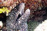 Gymnothorax moringa, Spotted moray, Florida Keys