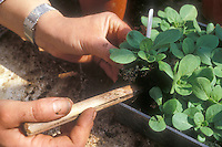 "Transplanting young seedling from flat, ""pricking out"" small individual plantlet from many others seed started together"