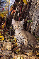 Young bobcat kitten.  Western U.S., fall.