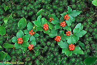 1V11-001f  Bunchberry - forest plant - Cornus canadensis