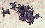 Baby sea turtles leaving nest, crawling to water, hazardous part of journey, high mortality  ocean oceanic young  ecuador