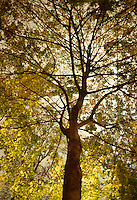 AVAILABLE FROM JEFF AS A FINE ART PRINT.<br /> <br /> AVAILABLE FROM GETTY IMAGES FOR COMMERCIAL AND EDITORIAL LICENSING.  Please go to www.gettyimages.com and search for image # 200398933-001<br /> <br /> Upward View of a Maple Tree (Acer sp.) and Fall Foliage on a Overcast Night, Gramercy Prk, Lower Manhattan, New York City, New York State, USA<br /> <br /> Original image photographed on 35mm transparency film.