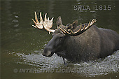 Carl, ANIMALS, wildlife, photos, elk in water(SWLA1815,#A#)