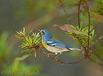 Northern Parula (Parula americana), (male? was singing) Osceola County, Florida, USA