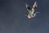 Blauflügelige Ödlandschrecke, Blauflüglige Ödlandschrecke, Flug, fliegend, Sprung, springend, Ödland-Schrecke, Oedipoda caerulescens, blue-winged grasshopper, flight, flying, jumping, hopping, Criquet à ailes bleues, Criquet à ailes bleues et noires, Criquet bleu, Criquet rubané, Œdipode bleuâtre, Œdipode bleue, Œdipode turquoise