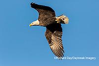 00807-03620 Bald Eagle (Haliaeetus lecocephalus) in flight Clinton Co. IL