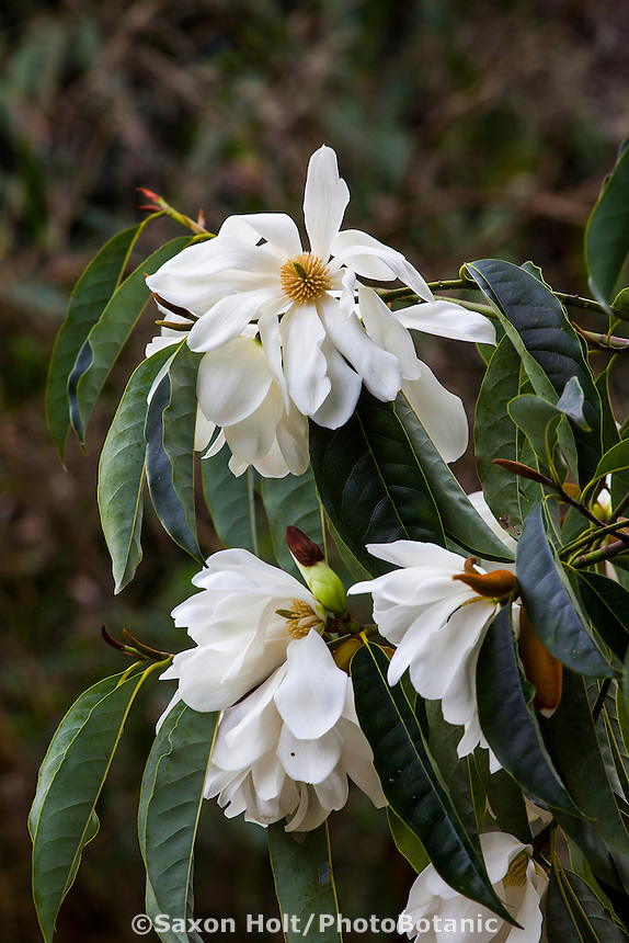 Magnolia doltsopa, Sweet Michelia - flowering fragrant tree in San Francisco Botanical Garden