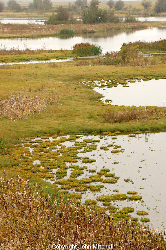 Wetlands or estuarine marsh at  the Reifel migratory Bird Sanctuary,  Westham Island, Delta, BC, Canada      .