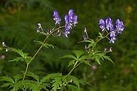 Rispiger Eisenhut, Rispen-Eisenhut, Degens Eisenhut, Aconitum degenii, Aconitum paniculatum, Branched Monk's-Hood