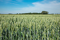Wheat in ear - Lincolnshire, June