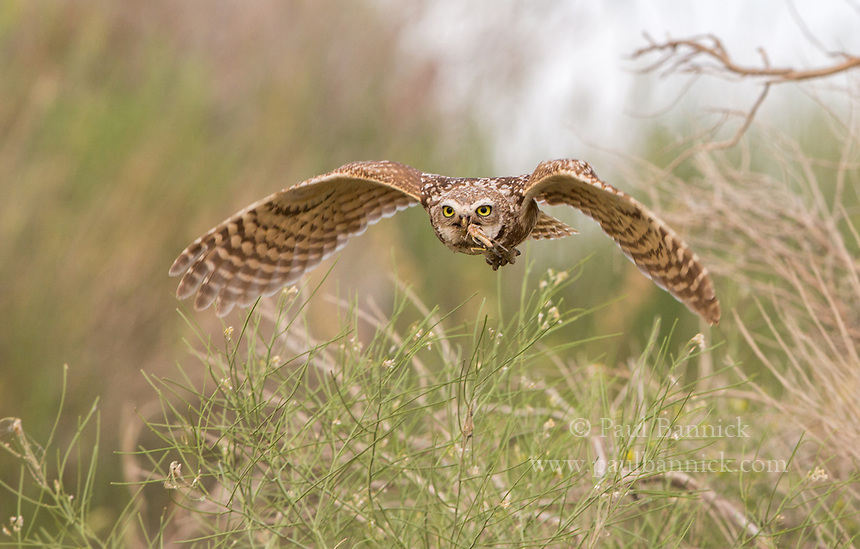 A female Burrowing Owl flies towards the nest with a grasshopper for her young.  (Idaho)