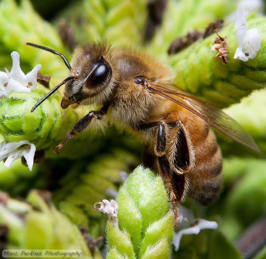 A bee (likely a honeybee; [Apis mellifera]) climbs a marjoram ([Origanum majorana]) inflorescence.  The bee's eye, antennae, wings, legs, and fine body hairs are all in focus, as are the pistils and stamen of some of the marjoram flowers.
