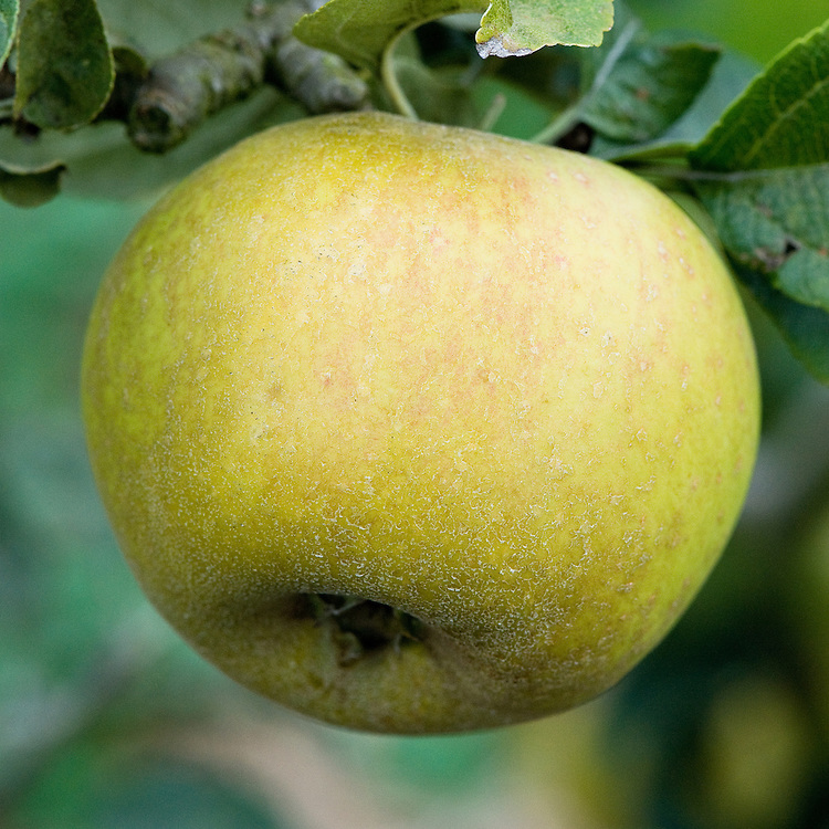 Apple 'Rushock Pearmain', mid Septemer. An English  dessert apple said to have been raised by a blacksmith named Charles Taylor, at Rushock in Worcestershire, about the year 1821. Sometimes known by the name of 'Charles's Pearmain' or 'King Charles Pearmain'.