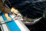 A fisherman stabs a shark while fishing for blue fin tuna on the Gulf of St. Lawrence near North Rustico, PEI, Canada.