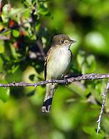 Willow or alder flycatcher