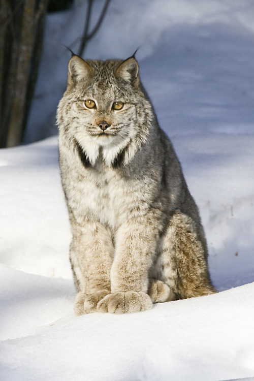 Canada Lynx sitting on the snow - CA